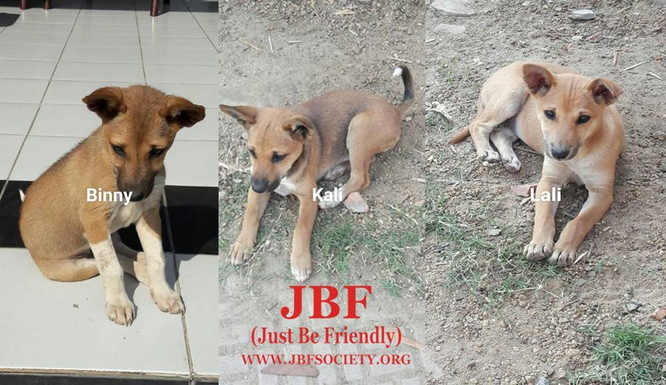 Three Months Old Indie Puppies Need A Forever Home Jbf