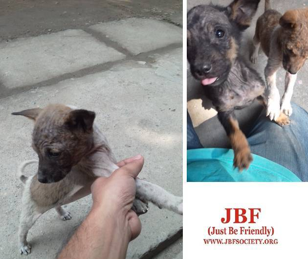 Four adorable Indie homeless puppies  Adopt them today! – JBF